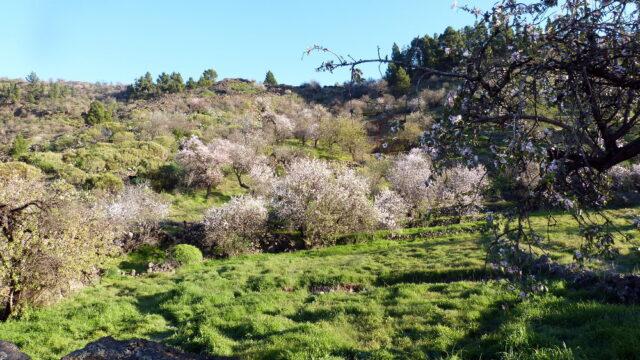 wandern auf teneriffa mandelbaum